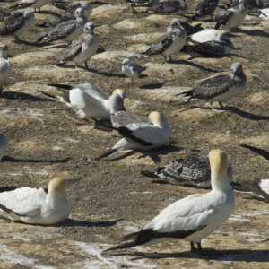 Northern Gannet Colony. New Zealand. 2009.