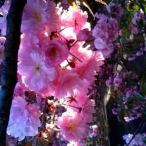 Crabapple Blossoms. New York. 2013.