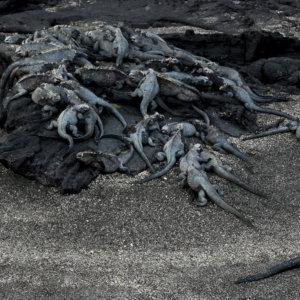 Marine Iguanas. Galapagos. 2008.