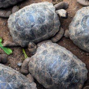 Juvenile Tortoises. Galapagos. 2008.