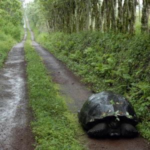 Giant Tortoise. Galapagos. 2007.
