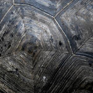Giant Tortoise 1. Galapagos. 2007.