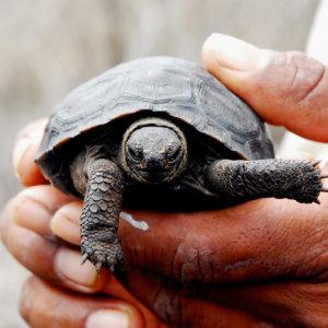 Juvenile Giant Tortoise. Espanola, Galapagos, Ecuador. 2007